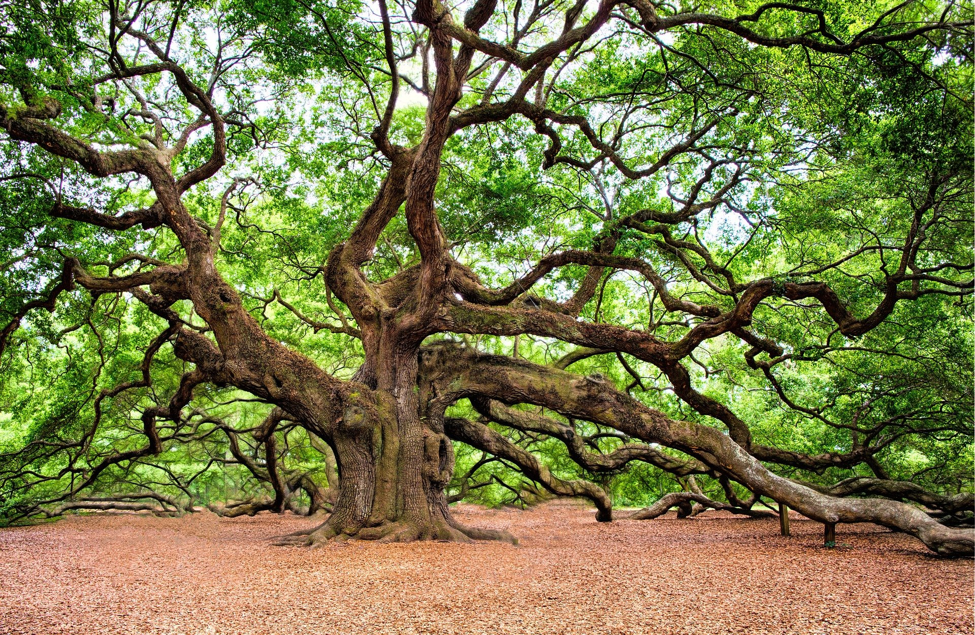 Oak trees are expected to have a lifespan of 1000 years, but this duration has been drastically reduced due to various external factors