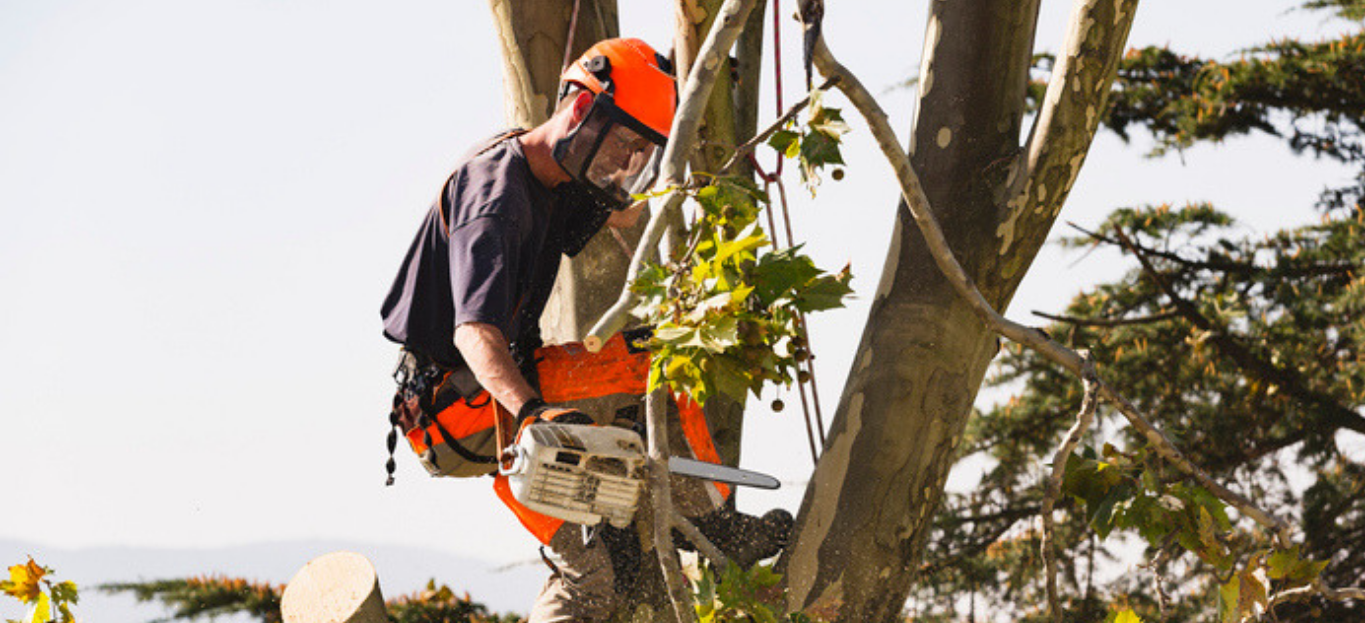 Expert Cutting a Tree with chainsaw